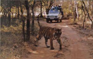 Shooting tiger with a shaky camera