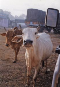 The live refuse collectors, the homing cows